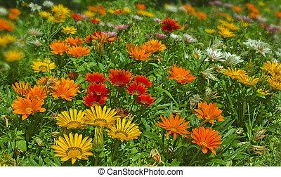 Gazania, flor,  África, SUL, nativo