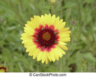 Gazania, flor, amarela