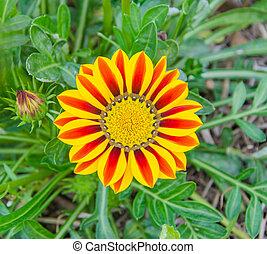 Gazania, flor, ensolarado