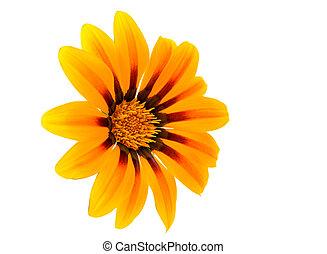 Gazania, flor, isolado