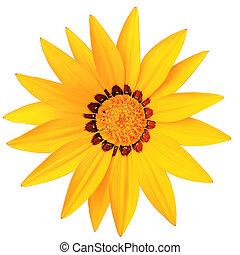 Gazania, flor, isolado, fundo, branca