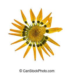 gazania, flor, isolado, secado, branca, apertado