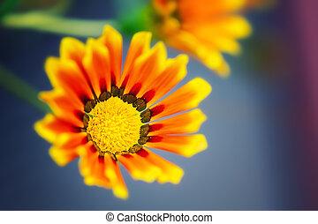 gazania, flores, cicatrizarse