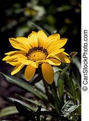 gazania, jaune, jardin anglais, fleurir