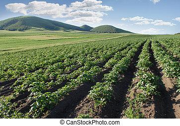 gazdálkodás, egy, krumpli, mező