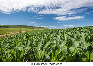 gazdálkodás, kukorica, gabonaszem terep, kék