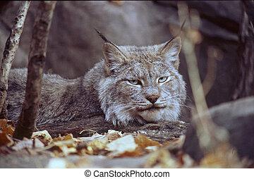 Gaze of the Lynx