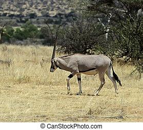 gazella, oryx