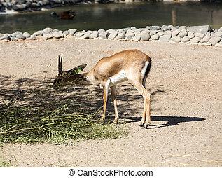 gazella, parc, oryx, gemsbok, safari, antilope, ou