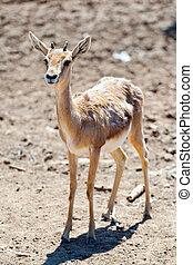 Gazelle baby in safari