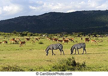 Gazelle Impala - Afrikanskfy Grant's gazelle in their...