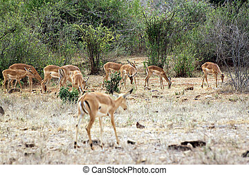 gazelle, in, de, savanne