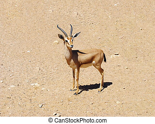 Gazelle in stone desert, wild animal, Africa