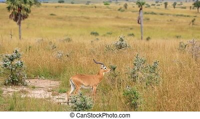Gazella gazella in the African Savannah looks into the distance and is going to run along the path. Uganda