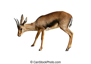 Gazelle isolated on white - African gazelle isolated on...