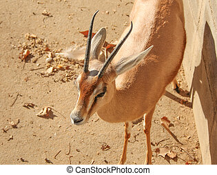 Gazelle mammal