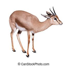 gazelle over white background