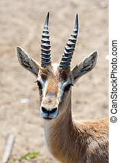 Gazelle - Portrait of gazelle