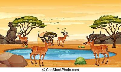 gazelle, scène, champ