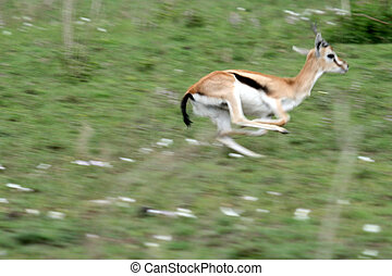 Gazelle - Serengeti Safari, Tanzania, Africa - Serengeti...