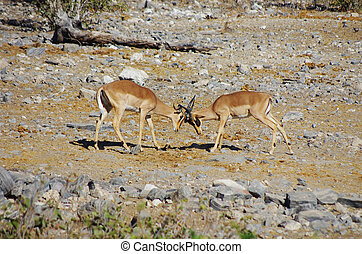 Gazelles fighting