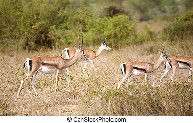 gazelles, thomson
