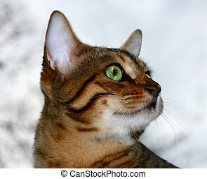 Gazing - Profile of Bengali special breed kitten.