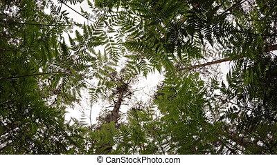 Gazing Skyward from beneath Fern Undergrowth in Pine Forest, with Sound