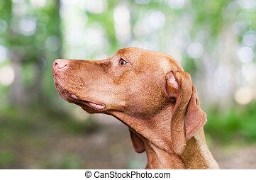 Gazing Vizsla Dog