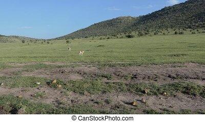 Gazzeles in savannah in on of the National park in Kenya