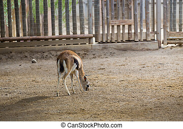 gazzelle, cervo, o, cattività