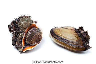 geaderd, rapa, wulk, en, anodonta, (river, mussels)