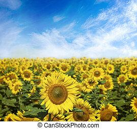 gebied van bloemen, van, zonnebloemen