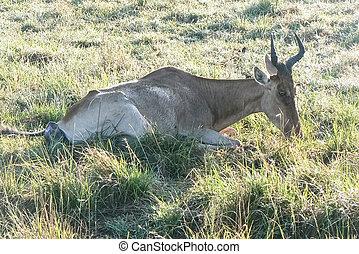 Geburt einer Antilopen in der Savanne Safari in Kenia