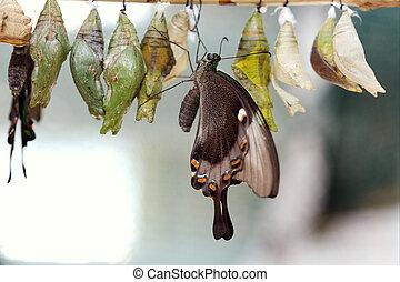 geburt, von, der, butterfly.