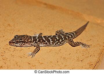 gecko, 上に, 石