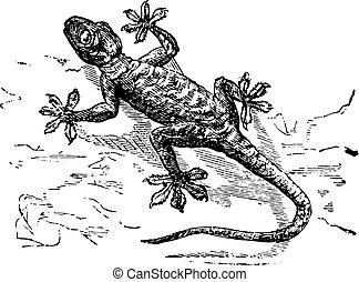 gecko, engraving., vendange