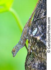 Gecko in the dominican republic caribbean islands