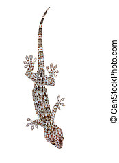 Gecko isolated on white background with clipping path