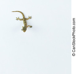 Gecko Isolated On White
