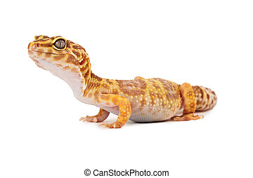 gecko leopardo, vista lateral