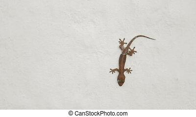 Gecko lizard sitting upside down on white wall. Bangkok,...