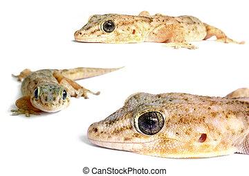 Geckos posing on white