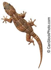 Gecko on White - Tarentola gecko on white wall