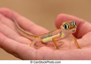 gecko, palmatogecko, web-footed