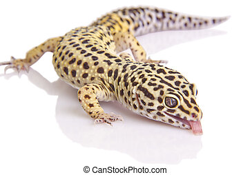 Gecko portrait closeup - A leopard gecko is sticking his...