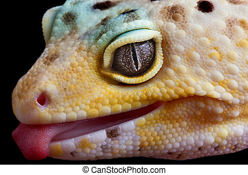 Gecko sticking out tongue - A leopard gecko is sticking his...