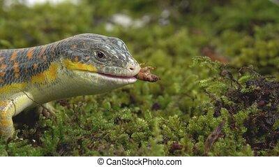 Gecko Stsynk Schneider eumeces schneideri eating prey larva ...