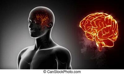 gedetailleerd, -, anatomie, hersenen, mannelijke , aanzicht