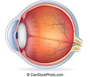 gedetailleerd, menselijk oog, anatomisch, illustratie